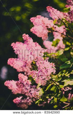 Branch of purple lilac flowers (Syringa vulgaris)