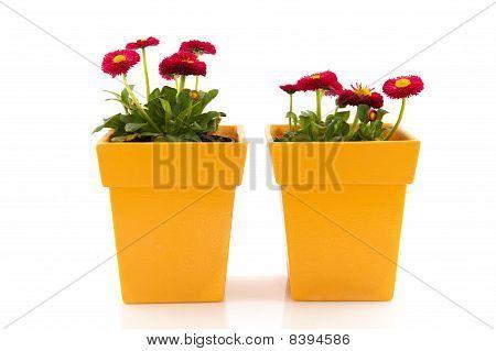 Pink Bellis In Yellow Flower Pots