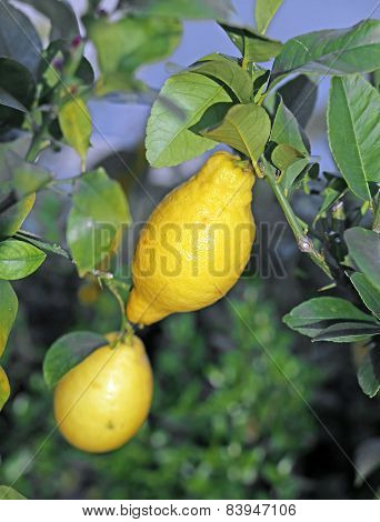 Two Yellow Lemon Hanging On The Tree In The Orchard In Italy