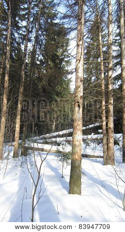 Fallen spruces