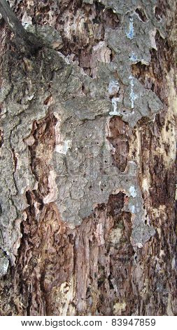 Invasion of the bark beetle