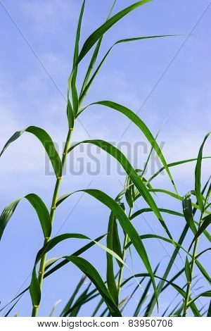 Reeds With Blue Sky