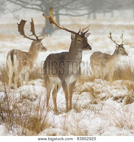 Three fallow deer in the snow