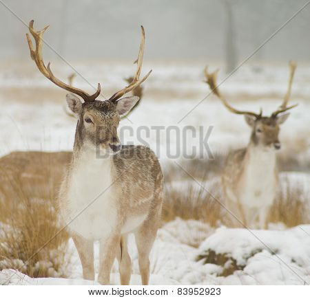 Two fallow deer in the snow