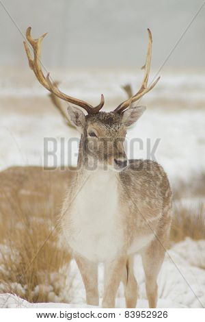 Young fallow deer in the snow