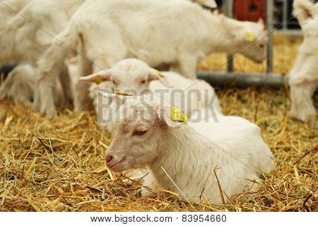 Goat On Straw