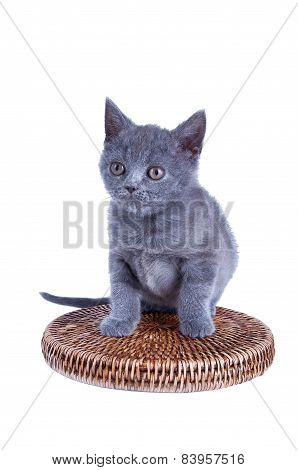 Scottish Straight Kitten Isolated On White