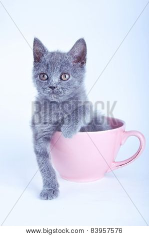 Scottish Straight Kitten Sitting In Pink Cup