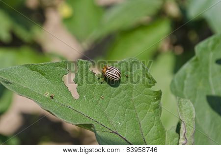 Colorado Potato Beetle In The Garden, Eating Leaves