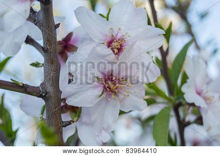 Almond Bloom In Spring