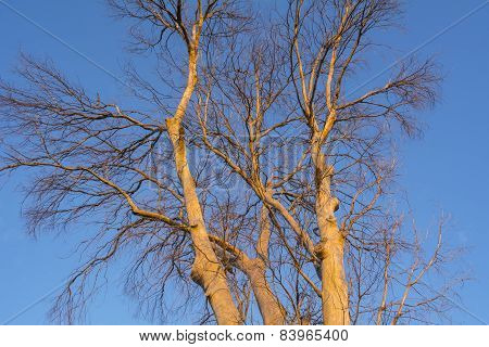 Branches Of A Dead Tree