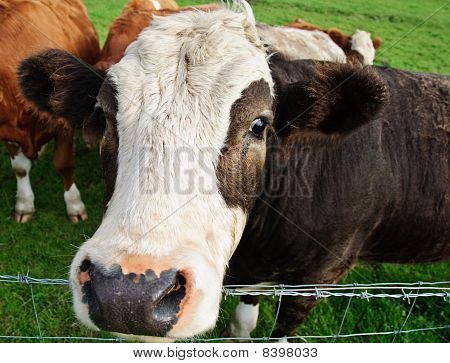 Close Up Picture Of Cow Head In Farm Field