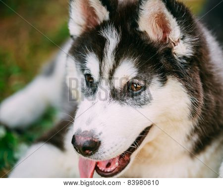 Close Up Young Happy Husky Puppy Eskimo Dog
