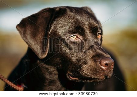 Close-up of Beautiful Brown Dog Head, Snout Of Lab Labrador Retr