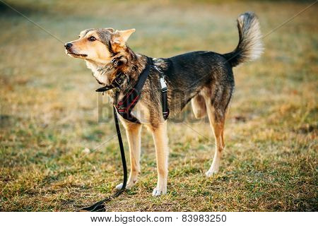 Mixed Breed Medium Size Three Legged Dog Standing At Grass