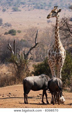 giraffe on guard duty