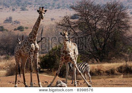 giraffe giving the tongue