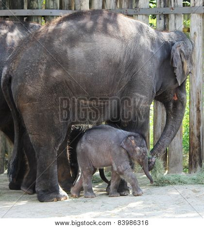 Elephant mama and baby eating