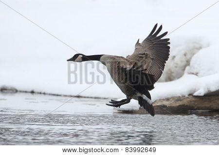 Canada Goose (branta Canadensis) Landing In Winter