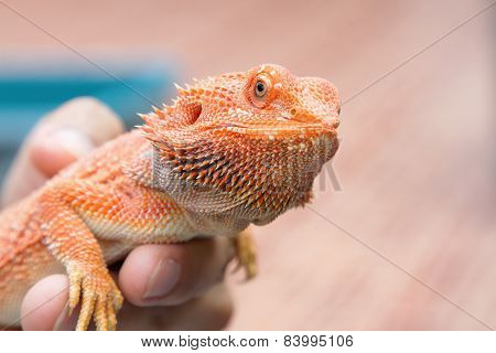 Bearded Dragon On Hand