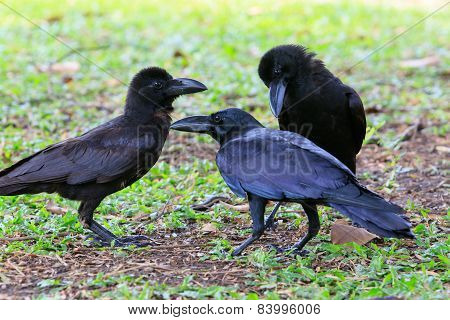 Lovely Acting Of Black Crow Bird On Green Field