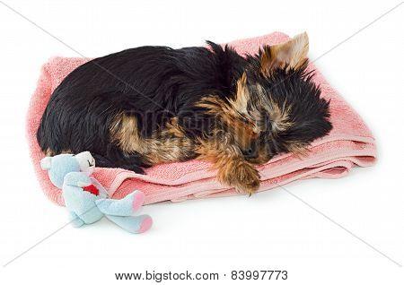 Yorkshire Terrier Puppy Sleeping On Pink Towel