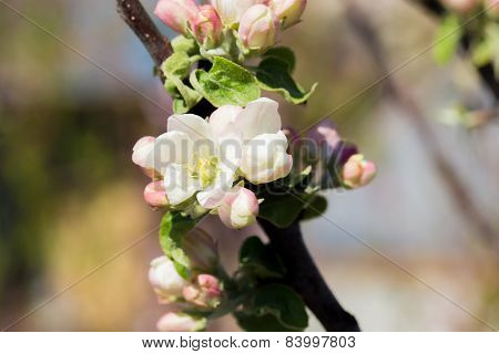 Blossoming Tree Brunch With White Flowers On Bokeh Green Background