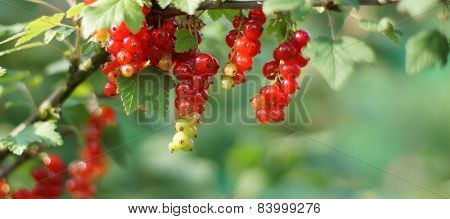 Redcurrant On Bush