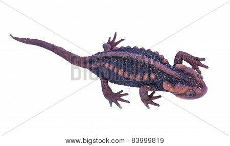 Salamander (tylototriton Verrucosus) Isolate On White Background  In Thailand And Southeast Asia.