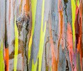 stock photo of eucalyptus trees  - Close up of the colorful bark and tree trunk of the Rainbow Eucalyptus tree at Keahua Arboretum in Kauai Hawaii USA - JPG