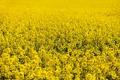 stock photo of turnip greens  - field of rapeseed - plant for green energy