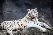 picture of white tiger cub  - White bengal tiger lying relax and watching on cliff - JPG