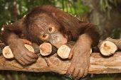 foto of orangutan  - young orangutan on the branch  - JPG