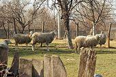 image of herd  - Sheep herd grazing - JPG