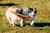 stock photo of cute dog  - Beautiful French Bulldog Puppy Dog Pup Puppy Whelp Outdoor In Spring - JPG