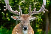 stock photo of antlers  - Male fallow deer with antlers - JPG