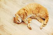 pic of orange kitten  - Peaceful Orange Red Tabby Cat Male Kitten Curled Up Sleeping In His Bed On Laminate Floor - JPG