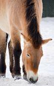 picture of wild horses  - Przewalski - JPG