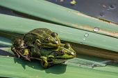 stock photo of copulation  - Pair frog sitting on a leaf in the mating season - JPG