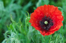 picture of opiate  - Big red poppy flower on a meadow close up - JPG
