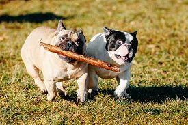 foto of bulldog  - Beautiful French Bulldog Puppy Dog Pup Puppy Whelp Outdoor In Spring - JPG