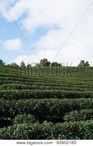 Tea Farm, This Photo Was Taken In Chiang Rai Province, Thailand.