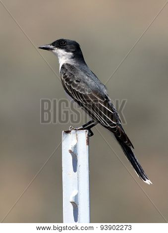 Eastern Kingbird on a Post