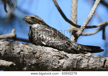 Common Nighthawk Perched on a Branch