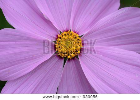 Purple Flower. Macro.