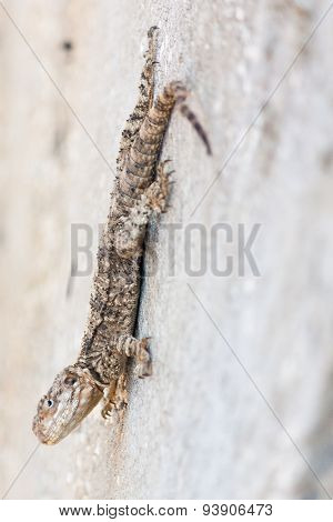 Lizard Hanging On A Wall