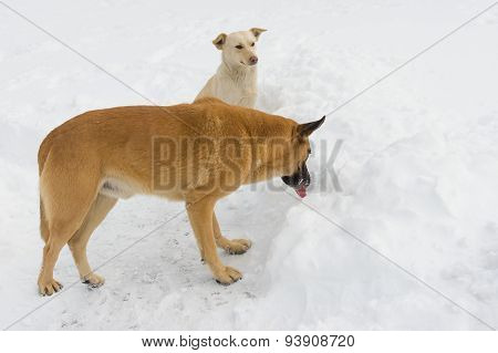Stray dogs on the winter watering place