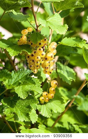 Ripe White Currants