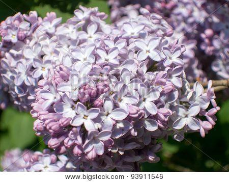 white and mauve syringa vulgaris flower