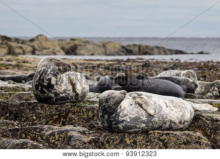 Farne Island Grey Seals